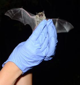This northern long-eared bat was caught and released during the 2013 Bat Blitz in Oklahoma. Credit: Pete Pattavina/U.S. Fish and Wildlife Service