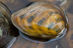 northern_riffleshell_mussel