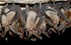 virginia-big-eared-bat