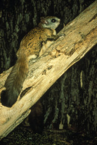 virginia_northern_flying_squirrel
